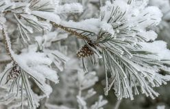 Spruce branch with cones in the snow on a white background, winter royalty free stock image