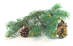 Spruce branch and cones Stock Photography