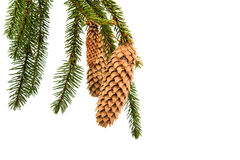 Spruce branch with cones Stock Photography