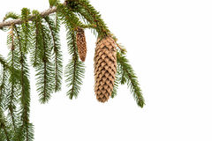 spruce branch with cones Stock Photo
