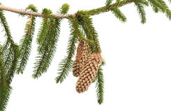 spruce branch with cones Royalty Free Stock Images