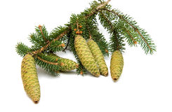 spruce branch with cones Royalty Free Stock Photos