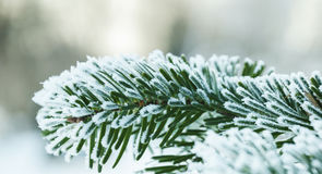 He spruce branch is covered with hoarfrost Stock Images