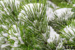 Spruce branch covered Royalty Free Stock Photo