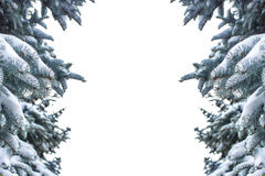 Spruce branch covered with snow isolated over white Royalty Free Stock Image