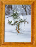 Spruce branch covered with snow. picture frame Stock Image