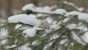 Spruce branch covered with snow with a quail egg on it, close up. Shot stock video footage