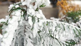 A spruce branch covered with snow, selective focus, 4K. A spruce branch covered with snow, selective focus stock video footage