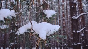Spruce branch covered with snow, swinging in wind in forest, close-up stock video
