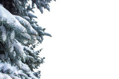 Spruce branch covered with snow on white background Royalty Free Stock Photos