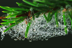 Spruce branch with dew drops Royalty Free Stock Image