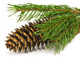Spruce branch with fir-cone Stock Image