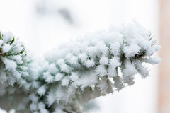 Spruce branch with frost Royalty Free Stock Images