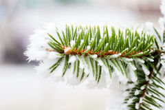 Spruce branch with frost Royalty Free Stock Photos