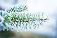 Spruce branch with frost Royalty Free Stock Photo