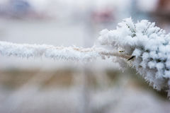 Spruce branch with frost Stock Image