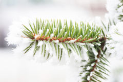 Spruce branch with frost Stock Images