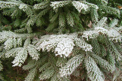 Spruce branch in hoarfrost. Green fir branches in the garden after a night of freezing Royalty Free Stock Image