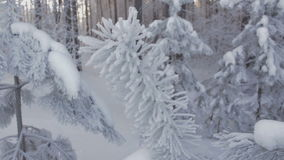 Spruce branch in hoarfrost at winter forest. Closeup shot. Spruce branch in hoarfrost at winter forest. Close up shot stock footage