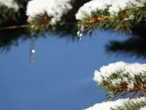 Spruce Branch Icicle royalty free stock image