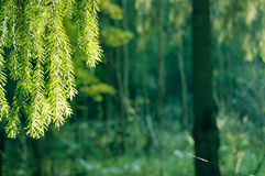 Free Spruce Branch In The Forest Royalty Free Stock Images - 13437409