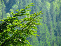 Spruce branch Royalty Free Stock Photo