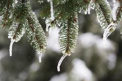 Spruce branch with melting ice Royalty Free Stock Photos