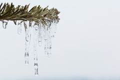 spruce branch with melting sleet. And ice Stock Photography