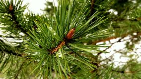 Spruce branch. Morning forest . Drops on the branches Stock Photography