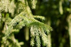 Spruce branch on the nature Royalty Free Stock Photo