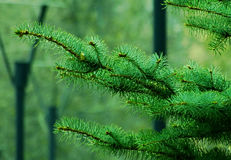 Spruce branch in the park. Nature spring Stock Photo