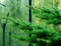 Spruce branch in the park. Nature spring Stock Photography