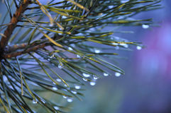 Spruce branch royalty free stock photography