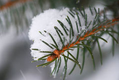 Spruce branch with snow Stock Images