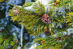 Spruce branch with snow Stock Image