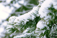 Spruce branch snow covered Royalty Free Stock Image