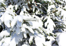 Spruce branch snow covered Stock Image
