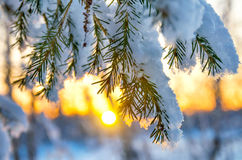 Spruce branch in the snow Stock Images