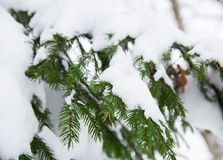 Spruce branch in snow Royalty Free Stock Photo