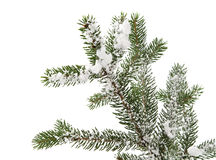 Spruce branch with snow Royalty Free Stock Photography