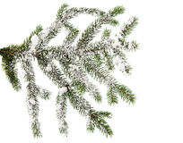 Spruce branch with snow Royalty Free Stock Images