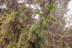 Spruce Branch Stock Photos
