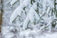 Spruce branch under snow Stock Images