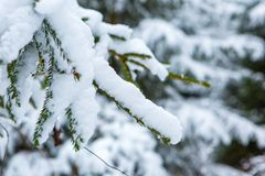 Spruce branch under snow Royalty Free Stock Photos