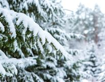 Spruce branch under snow Stock Image