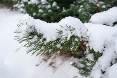 Spruce branch under snow close up, side view Royalty Free Stock Photo