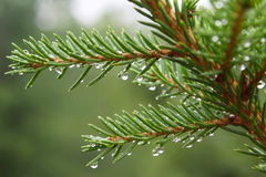 Spruce branch with water drops Stock Photo
