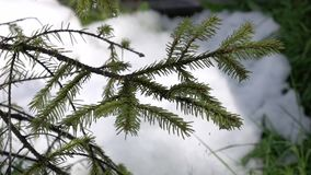 Spruce branch on which drips spring drops in slow motion stock video footage