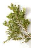 Spruce branch Royalty Free Stock Image