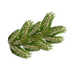 Spruce branch on white background. Christmas tree branch to design for Christmas and new year. Traditional wood for winter holiday Royalty Free Stock Images